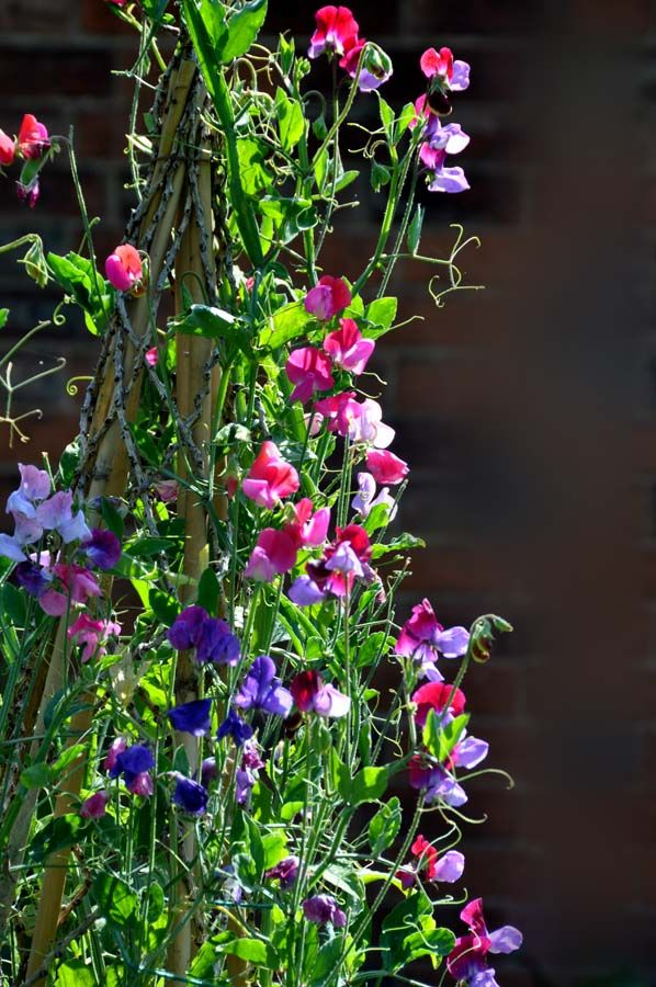 How to grow sweet peas: http://www.sweetpeas.org.uk/how.htm