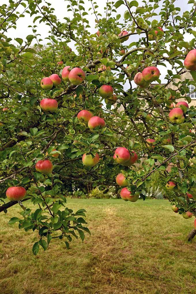 19 Best Apple Tree Varieties With A Guide To Flowering Groups Gardener S Path Apple Tree Growing Fruit Trees Fast Growing Fruit Trees