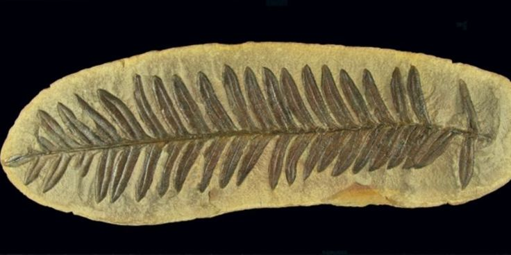 Fossil Fern in concretion, Pennsylvanian of Illinois
