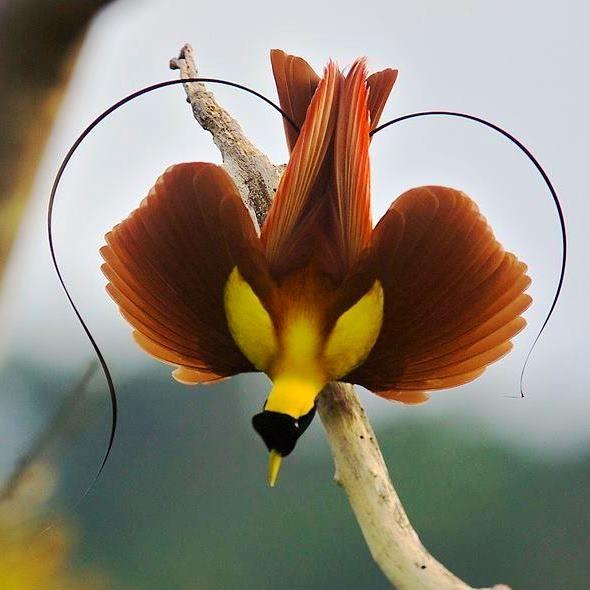 Red Bird-of-paradise (Paradisaea rubra) displaying - Waigeo&Batantaislands ofRaja Ampat,West Papua