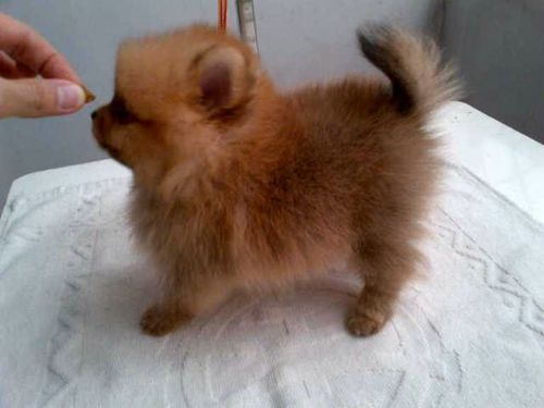 Pocket Dog Breeds With Pictures