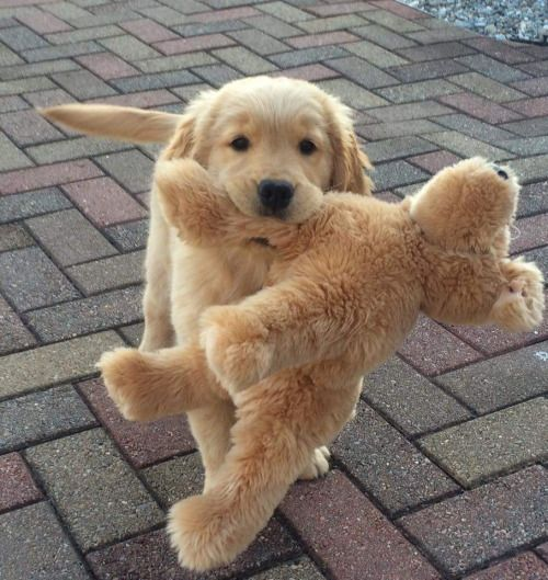 golden puppy holding a stuffed golden puppy!