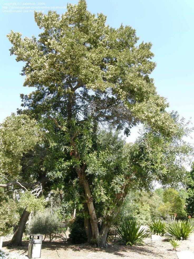 Algarrobo (ceratonia siliqua)