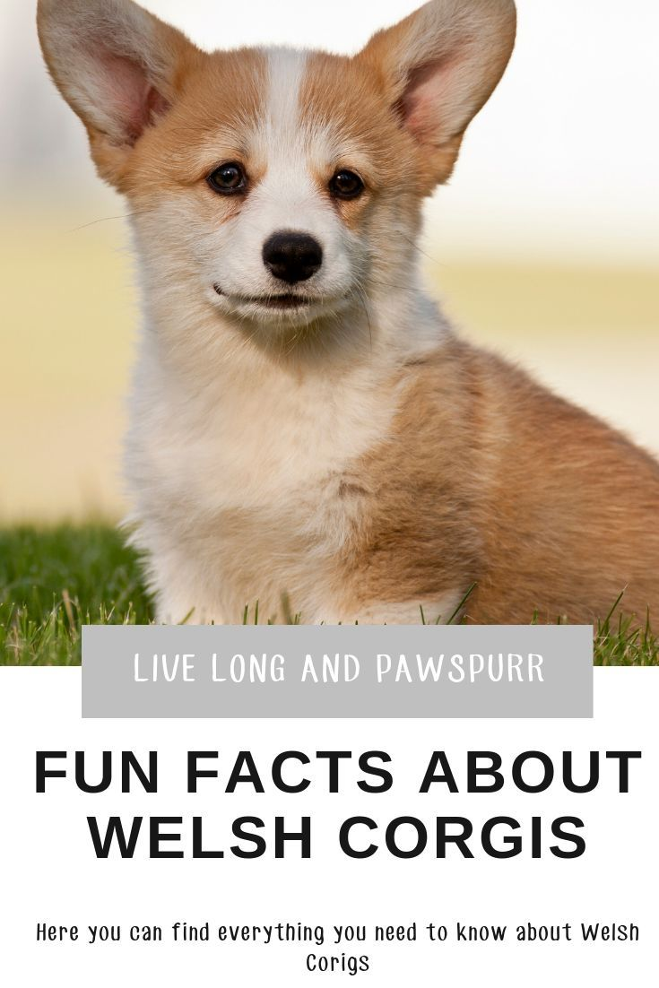 Everything You Need To Know About Welsh Corgis Corgi Facts