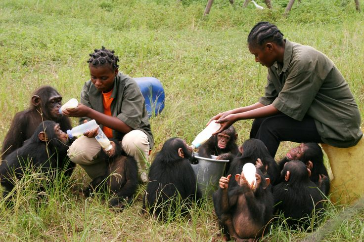 Mealtime!  Every Cheempo Product Sold Helps Protect Chimpanzees.  Learn more: https://nimakids.shop/   #janegoodall #nature #endangeredspecies #chimpanzees #animals #loveanimals #animalrights #animalslover #animalprotection #Cheempo #NimaKids