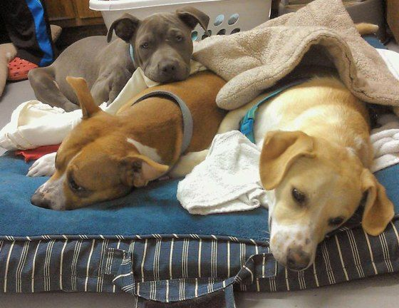 Sweet Pit Bull puppy cuddles and cares for dogs just out of surgery » DogHeirs | Where Dogs Are Family « Keywords: Pit Bull, Denkai Community Veterinary Clinic, colorado