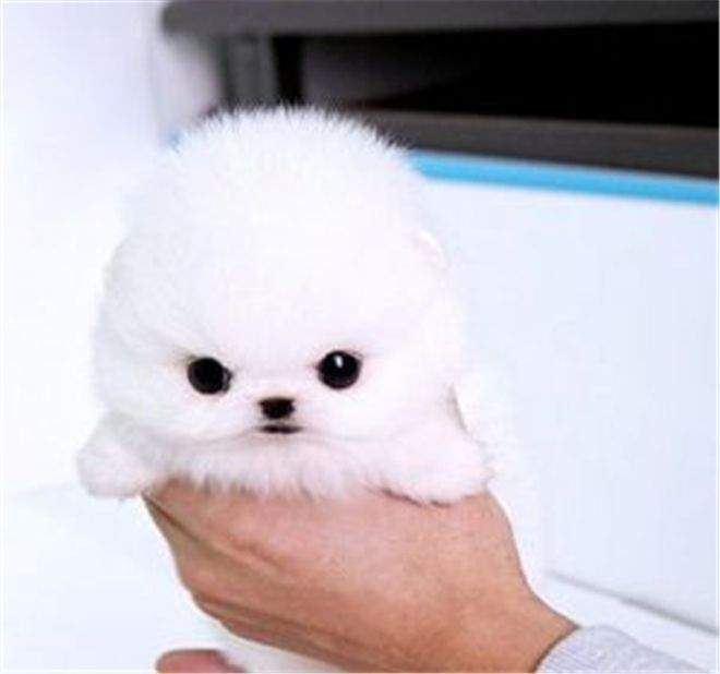 20 Cutest Teacup Dogs in the World - Micro Pomeranian