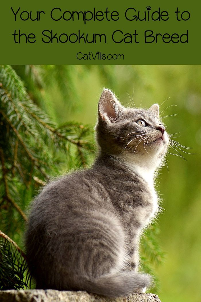 The Skookum Cat (The Definitive Guide To This Short Leg Breed  – Cat Facts and Info