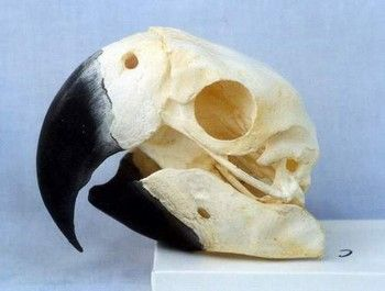 Scarlet Macaw Skulls Replicas Models for sale at www.SkeletonsAndSkullsSuperstore.com