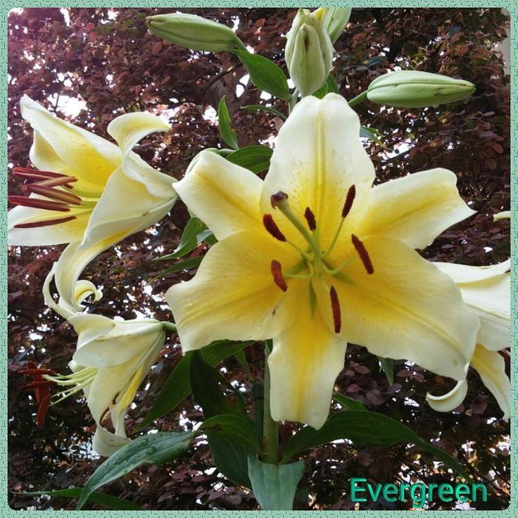 ☆ユリLily  自宅庭のユリ...コンカドールまたはイエローカサブランカ。  一度球根を植えてから何の手間もかけず毎年芽を出し私の身長くらいまで生長します。  花がまた大輪で凛々しいんです��  Lilies in my garden.  Conca D'or or yellow casablanca.  #ユリ#ゆり#百合 #lily #liles #コンカドール#イエローカサブランカ #concador#yellowcasablanca #庭#garden  #大輪#大輪のユリ #largeflowered #largefloweredlily #カサブランカ#casablanca #春#夏#spring #summer  #黄色#yellow  #ガーデニング#gardening http://misstagram.com/ipost/1549684344636026761/?code=BWBlbNsA6-J