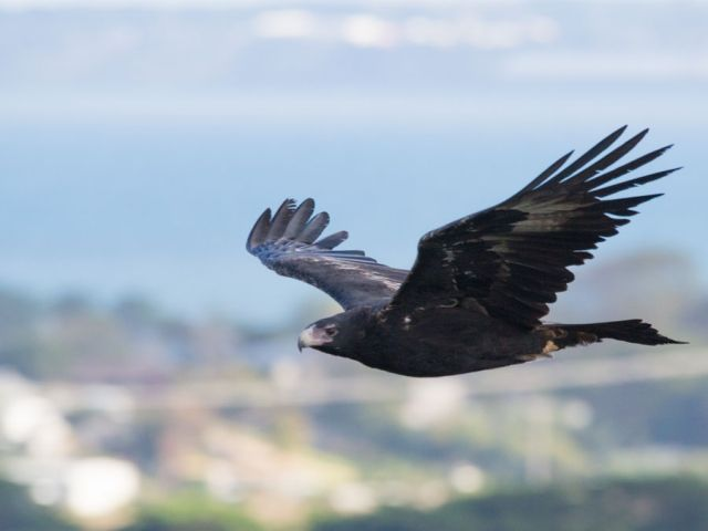Wedge-tailed #Eagle, caught in #flight in southern #Victoria