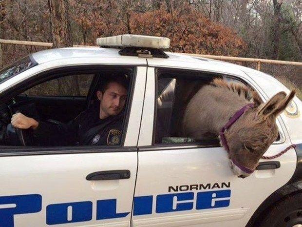 Um burro pegou carona em um carro da polícia da cidade de Norman, em Oklahoma (EUA). O policial Kyle Canaã respondeu a uma chamada sobre um burro à solta na cidade. Depois de capturar o animal, o policial achou melhor leva-lo para o dono em segurança