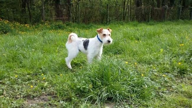 Milou, Chien fox terrier à adopter