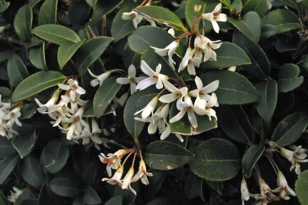 Osmanthe burkwoodii    L'Osmanthus x burkwoodii (Osmanthe burkwoodii) est une belle plante qui convient parfaitement pour une utilisation en haie basse.