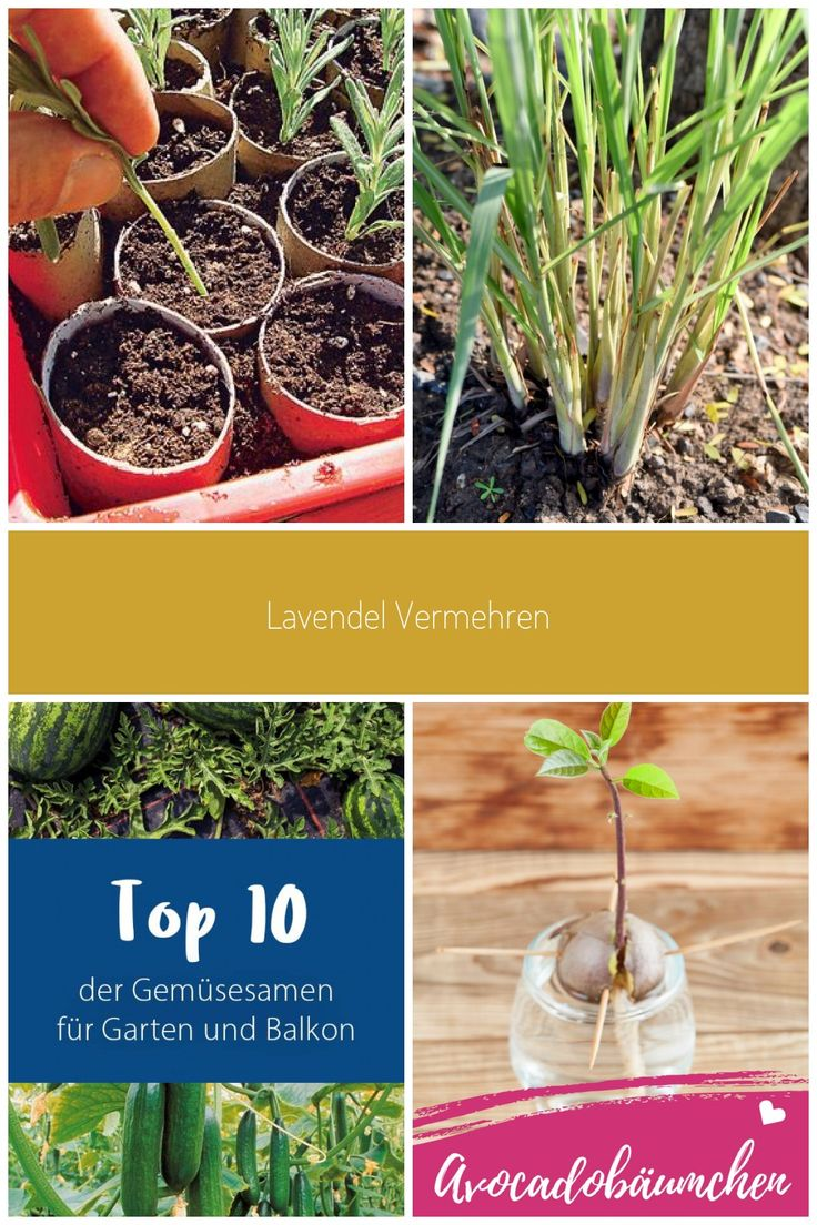 Vermehrung Lavendel