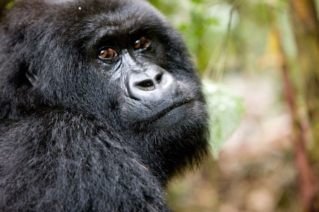 The ultimate of all wildlife encounters, Gorilla Trekking in Rwanda.  A must for everyone's bucket list. Contact Gilpin Travel for further information!
