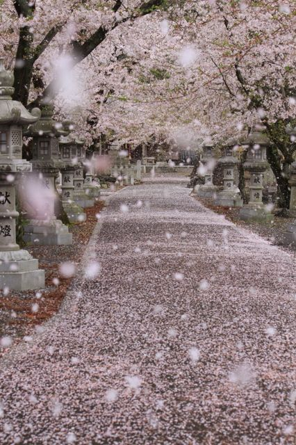 A rain of cherry blossoms - Pink carpet, Gifu, Japan