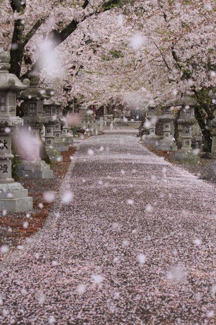 Cherry blossom storm in Gifu, Japan