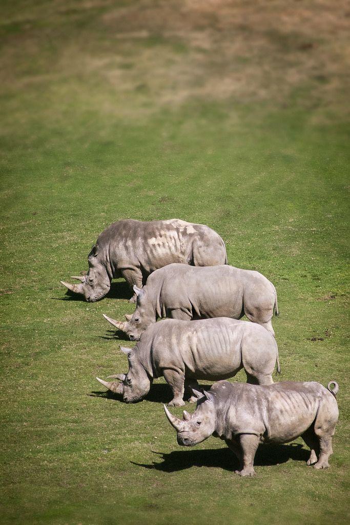 A Crash of Four White Rhinos at the San Diego Zoo Safari Park