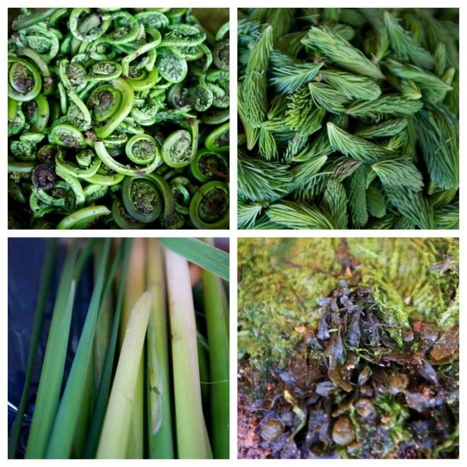 Go foraging for fiddleheads, spruce tips, dulse & cattails