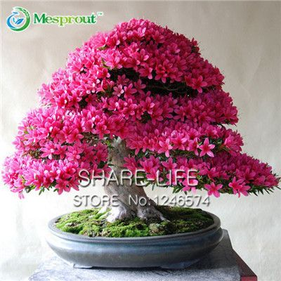 100 Pcs Rare Bonsai Hot Rose & Pink Azalea Seeds Looks Like Sakura Japanese Cherry Blooms Flower Seeds
