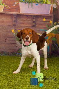 Pudge - Beagle pet adoption in Scranton PA #dogadoption