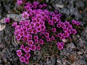 Nunavut's Provincial Flower - Purple Saxifrage (Arctic Poppy)