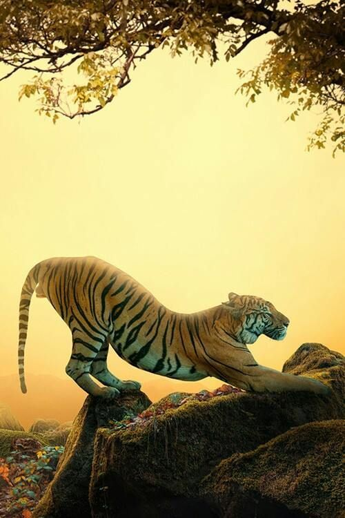 The Royal Bengal Tiger.The National Animal of India