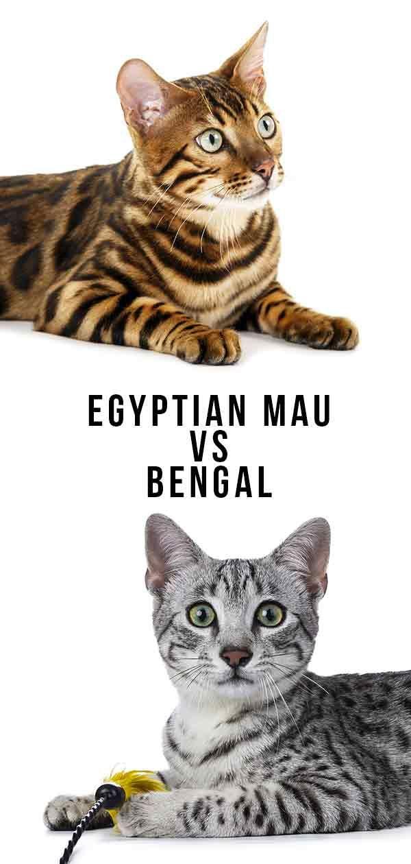 Egyptian Mau Vs Bengal Cats Egyptian Mau Egyptian Cat Breeds