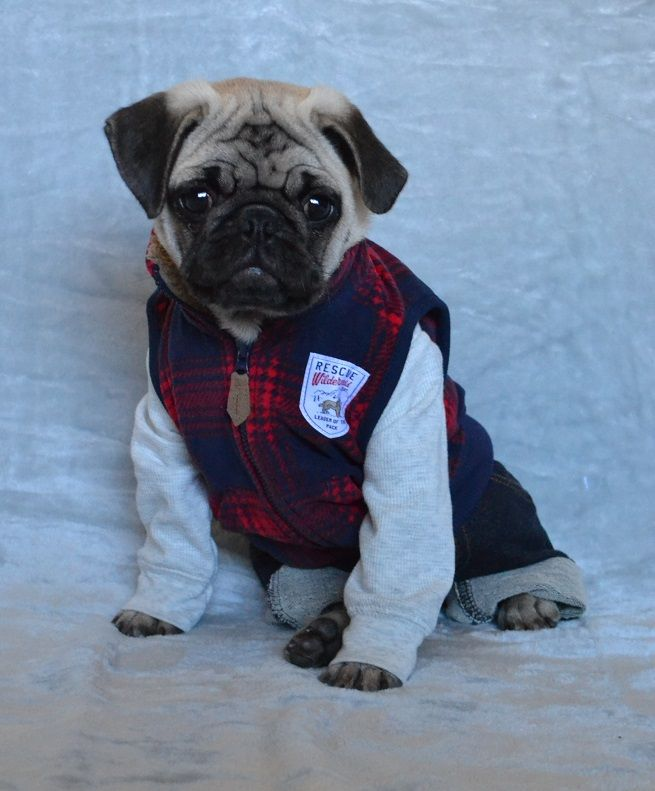 Our Pug Boo Dressed Up As An Abercrombie & Fitch Model #pugcostume #pughalloween #abercrombie