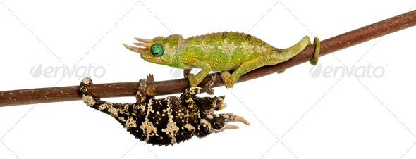 Two Mt. Meru Jackson's Chameleons by Lifeonwhite. Two Mt. Meru Jackson's Chameleons, Chamaeleo jacksonii merumontanus, partially shedding and perched on branch in fron...