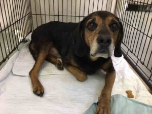 12 YEARS OLD!! FIRE!! SUPER URGENT 11/20/16 Manhattan Center SKIPPY – A1097401 MALE, BLACK / TAN, ROTTWEILER MIX, 12 yrs STRAY – ONHOLDHERE, HOLD FOR DISASTER Reason FIRE Intake condition GERIATRIC Intake Date 11/19/2016, From NY 11373, DueOut Date 11/26/2016, I came in with Group/Litter #K16-082029.