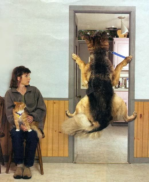 A German Shepherd Funny. I don't think he's ready to see the vet yet.