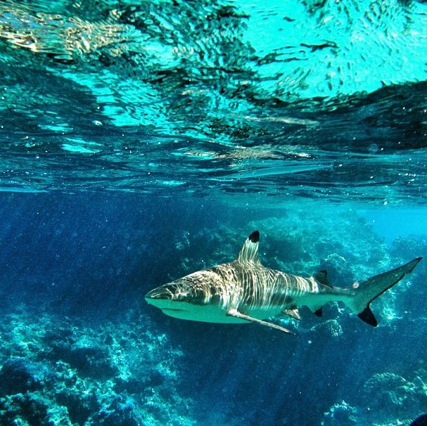 """""""Th ere are over 350 species of shark, but white- and black-tip reef sharks are the most commonly encountered by divers and snorkellers on tropical reefs, and they'll usually give you a wide berth."""" www.bradtguides.com"""