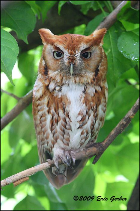 I saw one of these red phase eastern screech owls in one of my oak trees last night.  I had never seen one before.  My cat found it or I would have never seen it in the dark.  11/16/16