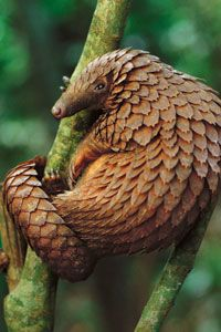 Pangolin. Photo by Georg Steinmetz. Not a mobile pineapple, the pangolins are scaly mammals from Southeast Asia. They are toothless, have poor eyesight, eat insects, and their sole defense is emitting a bad odor while curling into a ball. The Pangolin is endangered due to use in traditional Chinese medicine. The animals are 30-40 pounds each and in just one year government agents confiscated 220,000 pounds of pangolin parts being exported.