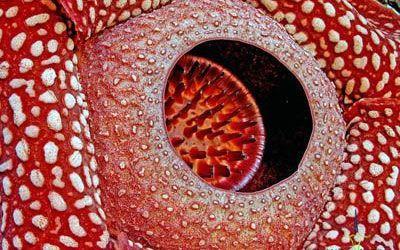 Rafflesia arnoldii, world's largest flower