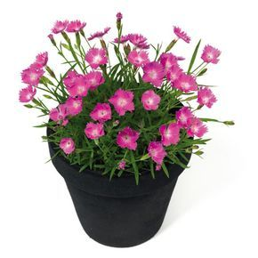 Anjer Kahori (Dianthus Kahori) | MijnTuin.org vaste plant / redelijk winterhard