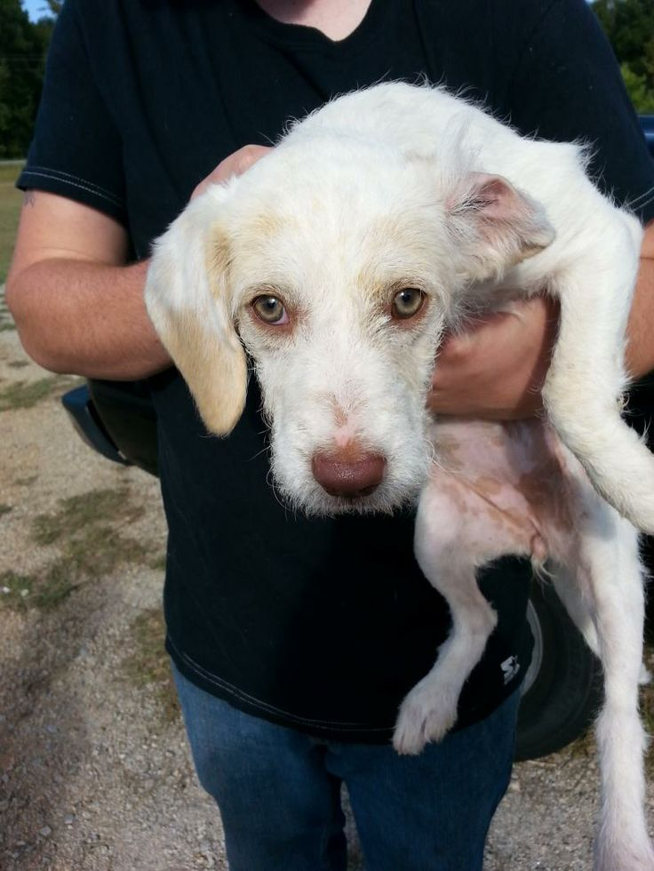 HILDA Beagle & Poodle Mix • Young • Female • Small Southern Souls Rescue Harlem, GA