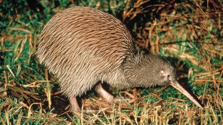 You can see Kiwi in the wild in Trounson Kauri Park http://www.newzealand.com/au/trips-and-driving-itineraries/north-island/auckland-to-kaitaia/