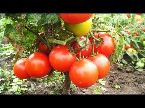 (10) Уникальный способ полива и подкормки томатов. Сода, марганцовка, йод - YouTube