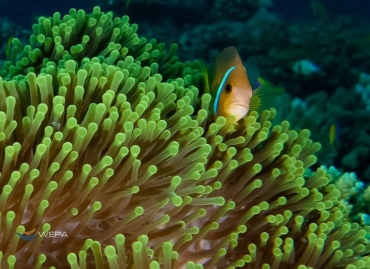 Little Nemo protecting his home and family. Photo by Alin Miu #WEPAnemo #WEPAanemonefish #WEPAclownfish