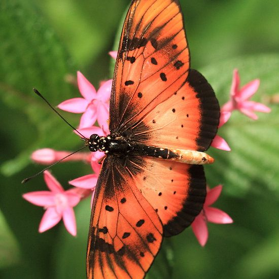 ~~ Natal Acraea Butterfly (St Lucia), South Africa ~~