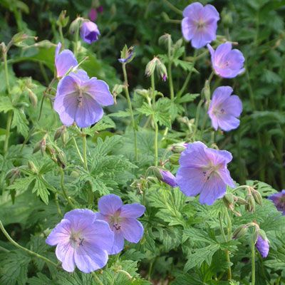 Geranium himalayense 'Irish Blue' - Pale green cut foliage in a spreading mat; topped with large saucer blooms in a beguiling shade of sky blue. A neat and most beautiful cranesbill for the front of a bed. 45cm. Excellent autumn colour
