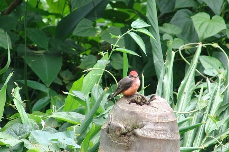 Atrapamoscas Pechirrojo posando sobre el tronco de una palma en El Portal, Paraíso Natural.