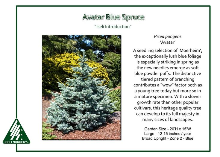 Best Treadmills For Home >> Avatar Blue Spruce Picea pungens 'Avatar' is a classic Colorado Blue Spruce manifesting the best ...