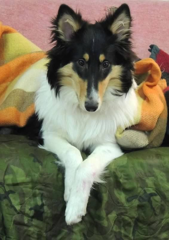 Gracehaven: Old-Fashioned Scotch Collies: Xena