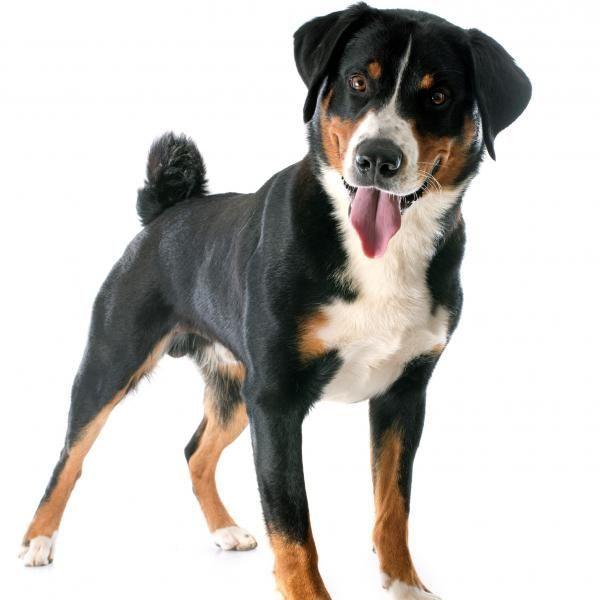 Appenzeller Sennenhunde Dog Breed Information Popular Pictures Sennenhund Entlebucher Sennenhund Appenzeller Sennenhund