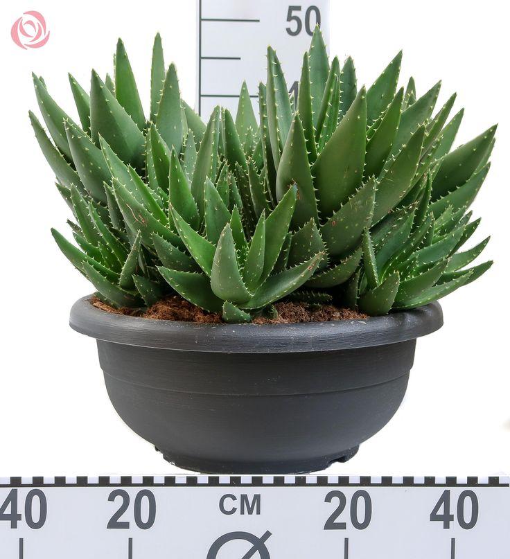 Aloe pot 40