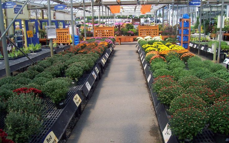 Garden #mums are available for bright color at Stauffers of Kissel Hill Garden Centers! www.skh.com